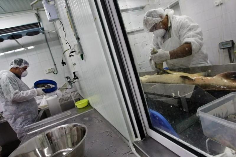 Сотрудник кибуца (справа) вынимает икру, а второй готовит ее для упаковки