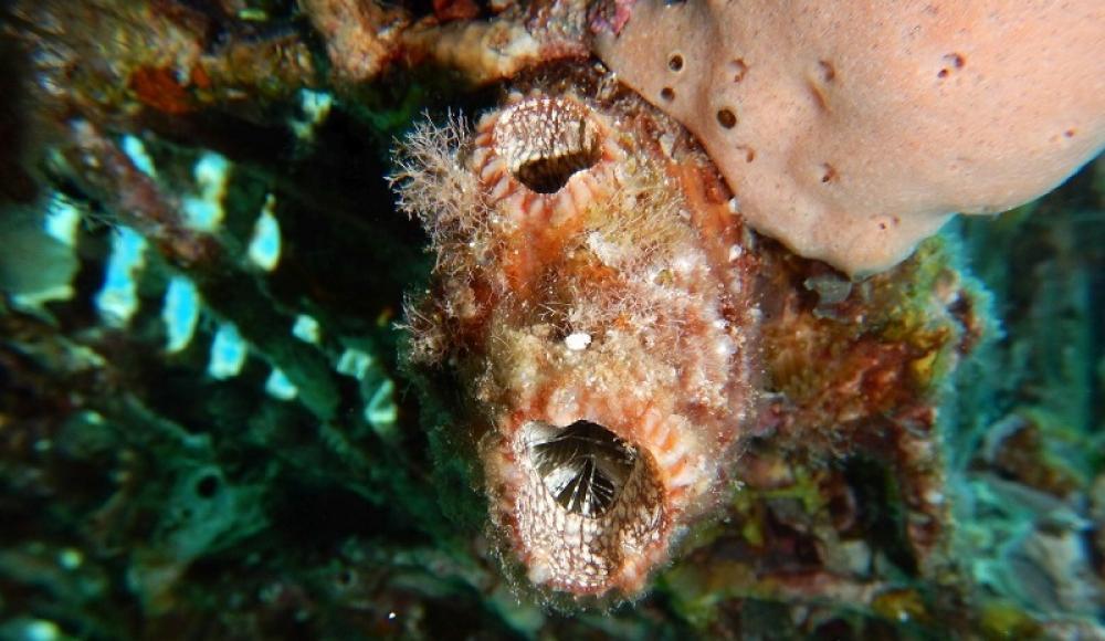 Израильские ученые открыли в Эйлатском заливе уникальное морское животное со способностью регенерации