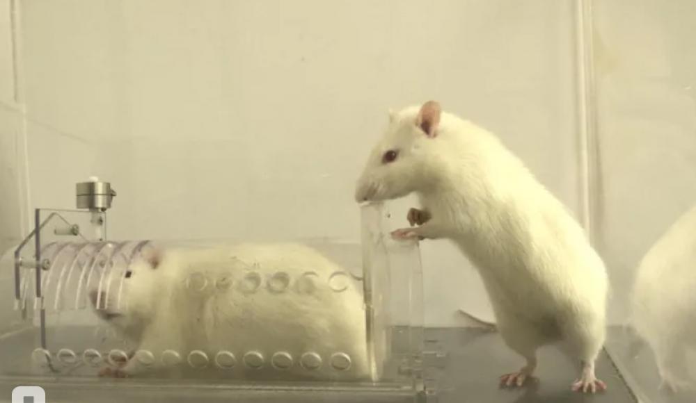 Израильские ученые выяснили — крысы, как и люди, стараются помогать знакомым